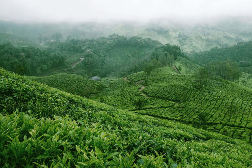 In Japan wächst der grüne Tee, der in unserer nachhaltigen Kosmetik verwendet wird.