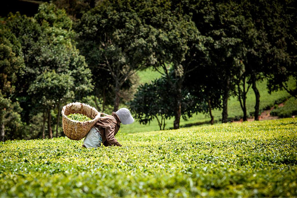 Für unsere exklusive Matcha Herstellung werden nur die feinsten Teeblätter geerntet.